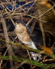 Hide-N-Seek (Portraying Life, LLC) Tags: cropapsc dbg6 hddfa150450 k1mkii pentax ricoh semichiganusa topazaiclear bird closecrop handheld nativelighting feeder hawk backyard