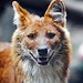 Close portrait of a dhole