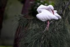 White Ibis (bmasdeu) Tags: white ibis preening pine florida endangered imperiled species