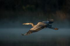 Blue Light Special (gseloff) Tags: greatblueheron bird flight bif fog morninglight contrast water nature wildlife horsepenbayou pasadena texas kayak gseloff