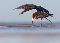 On the Hunt (T L Sepkovic) Tags: reddishegret egret shorebird wader beach bird birdlovers wildlife wildlifephotography canon5dmkiv canonusa lenscoat promediagear animals nature