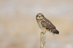 Short-eared owl (Peter Stahl Photography) Tags: winter sunny hunting vole owl shortearedowl