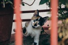 Curiosa (rsoledadvf) Tags: canon6d piscoelqui chile cats lightroom chileancat