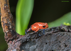 "Strawberry ""blue jeans"" poison dart frog (dendrobates pusilla) (sbuckinghamnj) Tags: costarica laselva frog poisondartfrog dendrobatespusilla"