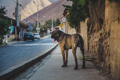 Doggo (rsoledadvf) Tags: canon6d streetphotography dogs chile southamerica lightroom