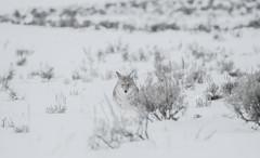 The Stare (agnish.dey) Tags: mammal wildlife wilderness wyoming montana snow winter yellowstone yellowstonenationalpark nature naturallight naturephotograph nikon naturethroughthelens nationalpark animalplanet d500