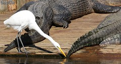 Tip to tail (Shannon Rose O'Shea) Tags: shannonroseoshea shannonosheawildlifephotography shannonoshea shannon greategret egret bird beak feathers wings white ardeaalba skinnylegs birdyfeet longtoes americanalligator alligators gators captive alligatorbreedingmarshandwadingbirdrookery gatorland orlando florida gatorlandbirdrookery rookery outdoors outdoor outside colorful colourful colors colours flickr smugmug wwwflickrcomphotosshannonroseoshea art photo photography photograph camera nature wildlife waterfowl animal animals alligatormississippiensis tail tails water femalephotographer girlphotographer womanphotographer shootlikeagirl shootwithacamera throughherlens wild wildlifephotographer wildlifephotograph wildlifephotography canon canoneos80d canon80d canon100400mm14556lisiiusm eos80d eos 80d 80dbird canon80d100400mmusmii 2019 7116 canongirl justagirlwithacamera birdphotographer naturephotographer