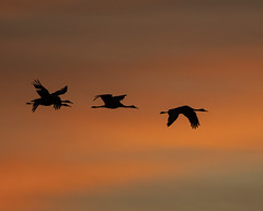 Sandhill Cranes (Joan M) Tags: 1192003 sandhillcranes sunset jasperpulaskifwa fall2019 nature birds wildlife outdoors silhouette indiana explore