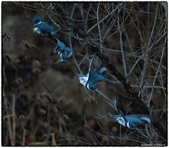 Belted Kingfisher (RKop) Tags: kingfisher raphaelkopanphotography nikon armlederpark 600mmf4evr 14xtciii cincinnati ohio