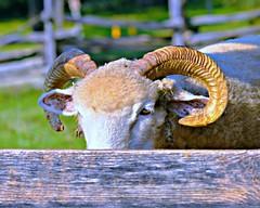 Keeping an Eye on Me -- Lincoln Log Cabin (forestforthetress) Tags: animal eye sheep lincolnlogcabin outdoor color nikon flickr fence farm