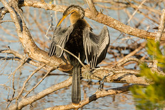 Hanging out (ChicagoBob46) Tags: anhinga bird veniceareaaudubonrookery rookery florida nature wildlife ngc coth5 sunrays5 npc naturethroughthelens