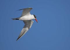 Caspian Tern (Hydroprogne caspia) (francisgmorgan) Tags: royaltern tern terninflight