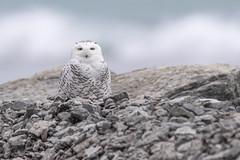 ᐅᒃᐱᒃ  | Ukpik | Harfang des neiges | Snowy Owl at Point Traverse, Prince Edward County (Paul B Jones) Tags: pointtraverse princeedwardcounty ontario canada winter ᐅᒃᐱᒃ ukpik harfangdesneiges snowyowl bird nature wildlife canon eos1dxmarkii ef600mmf4lisiii 14xiii