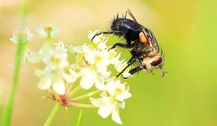 tachinid fly (Archytas analis complex) on whorled milkweed at Old Stone Church IA 653A9241 (naturalist@winneshiekwild.com) Tags: tachinid fly archytas analis complex whorled milkweed old stone church winneshiek county iowa larry reis