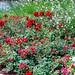 Rosas en Montserrat