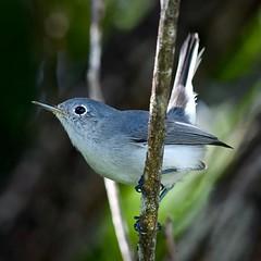 Blue-Gray Gnatcatcher (bmasdeu) Tags: bluegray gnatcatcher florida bird migratory species