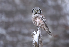 Northern Hawk Owl (ashockenberry) Tags: wildlife wildlifephotography wild wilderness white wings eco exotic ecosystem reserve travel tourism habitat majestic marsh nature naturephotography natural native northern beautiful beauty bird birding beak birdwatching landscape light predator forest feathers flight ashleyhockenberryphotography hawk owl