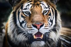 Big Kitty (Beth Reynolds) Tags: tiger cat conservation rescue endangered big saved florida sarasota animal