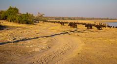 _L9A1717 (Kayla Stevenson) Tags: africa chobenationalpark jeremystriptoafrica animals capebuffalo