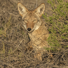 Coyote Peering Out (marlin harms) Tags: coyote coyotestare coyotewatching canislatrans