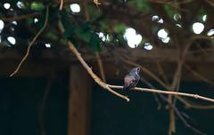 La visita diaria (rsoledadvf) Tags: canon6d nature bird piscoelqui chile southamerica lightroom pajaro colibri