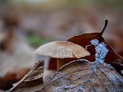 Wunder der Natur (Jens Schröter) Tags: deutschland de natur nahaufnahme macro makro mushroom pilz panasonic lumix winter schwäbischealb wald laub fungi