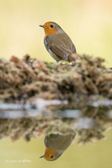 Robin D85_9581.jpg (Mobile Lynn) Tags: nature chatsrelatives birds robin bird fauna oscines passeri passeriformes songbird songbirds wildlife coth specanimal coth5