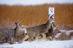 Safety Zone (walkerross42) Tags: refuge deer muledeer doe fawn buck antlers bearlakenationalwildliferefuge wildliferefuge idaho winter sign