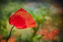 Rêve de coquelicot (.Sophie C.) Tags: fleurs jardin dansmonjardin flore plante coquelicot leshautsdefrance nord cambrésis 59 pse15 photoshopelements15 texture témari tas