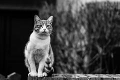Le petit minou. (LACPIXEL) Tags: cat chat street pet wall pared calle flickr noiretblanc sony kitty gato rue mur pussycat minou gatito minino animal mascota lacpixel littledoglaughednoiret