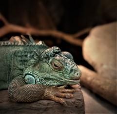 the green iguana (SM Tham) Tags: asia southeastasia malaysia perak ipoh tambun thelostworldoftambun pettingzoo animal reptile iguana lizard green resting log
