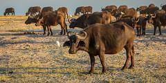 _L9A1668-Edit (Kayla Stevenson) Tags: africa chobenationalpark animals jeremystriptoafrica capebuffalo