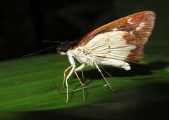 Ebusus ebusus (Over 6 million views!) Tags: butterfly ebususebusus ecuador hesperiidae butterflies insect