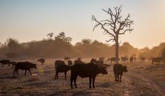 _L9A1673 (Kayla Stevenson) Tags: africa chobenationalpark jeremystriptoafrica animals capebuffalo