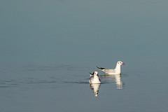 _DSC8192 (DMANOU) Tags: animaux france herault maguelone occitanie oiseaux
