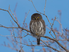 Northern Pygmy Owl (Brian Eagar Nature Photography) Tags: northernpygmyowl owl bird wild wildlife nature winter birding olympus em1m2 em1mii 300mm olympus300mmf4 utahbird utah utahnature utahwildlife webercounty wasatchmountains