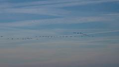 Quand passent les flamants.2.. (DMANOU) Tags: animaux flamantsroses france herault maguelone occitanie oiseaux