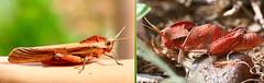 ash grey grasshopper (tdwrsa-2) Tags: ashgreyishgrasshopper loboscelianacinerascens canoneos70d ef100mmf28macrousm grasshoppers