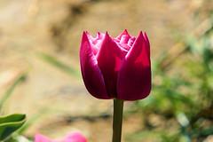 P1000772 (alainazer) Tags: lurs provence france fiori fleurs flowers tulipani tulipes tulips champs fields colori colors couleurs
