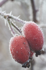 Winterose hip (Bohumil Boudník) Tags: crazytuesday winter rosehip rose hip nature sony a7 alpha macro close up helios 44m4 extension tube tubes frozen
