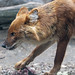 Dhole touching meat