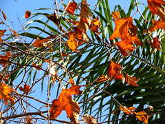 Winter In Southern California (StarLighttt) Tags: ranchocucamonga southerncalifornia leaves palm crazytuesday winter