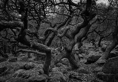 Gnarly (l4ts) Tags: landscape derbyshire peakdistrict darkpeak padleygorge woodland trees blackwhite monochrome