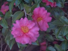 Camellia Macro (hyphy2008) Tags: olympusep5 zeisstriotar85cmf4 flora flower pinkcamellia garden color pink green yellow stamen pistil uncoatedlens