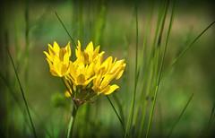 douceur jaune (.Sophie C.) Tags: fleurs jardin dansmonjardin flore plante ail leshautsdefrance nord cambrésis 59