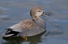 Серая утка / Anas strepera / Gadwall (SvetlanaJessy) Tags: природа птицы сераяутка bird birds anasstrepera gadwall