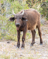 Calf (Ballacorkish) Tags: buffalo capebuffalo secretarybird nuwejaarswetlandssma capeagulhas 6000 6000coza ballacorkish
