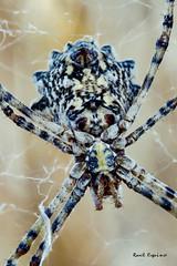 Argiope Lobata (Raul Espino) Tags: 2019 canon6dmarkii canon100mml araneidos macro macrofotografia natural naturaleza sevilla argiopelobata araneomorfa arachnida argiope