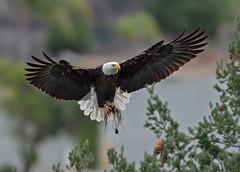 Nest building 101 (monte stinnett) Tags: baldeagle raptor birdofprey nesting nikond5 600mmfl 14x