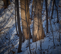 with trees, between branches and leaves, Somers, WI, 1-1-20 (wbhmatthies) Tags: trees branches leaves trunks snow growth decay photopoem panasonic panasonics1 gcs1 captureonepro20 wilhelmmatthies usa wisconsin